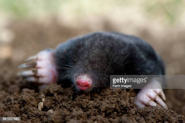 Common Mole on surface of mole hill