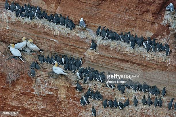 common murres or common guillemots -uria aalge- and northern gannets -sula bassana-, heligoland, schleswig-holstein, germany - schleswig holstein stock pictures, royalty-free photos & images