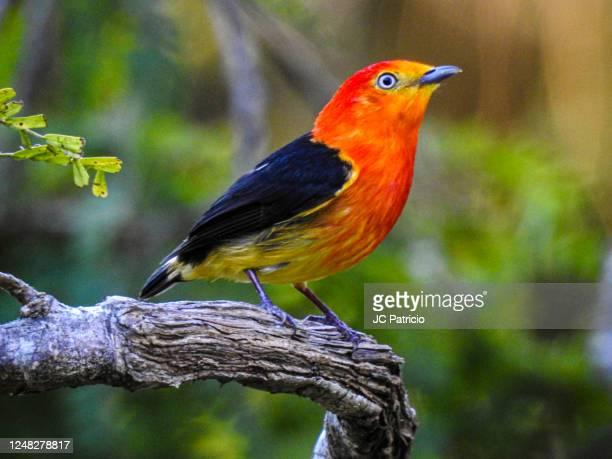 common name: band-tailed manakin/scientific name: pipra fasciicauda - cerrado stock pictures, royalty-free photos & images