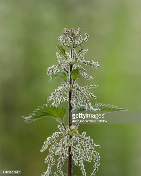[Image: common-nettle-picture-id1168177447?s=612x612]