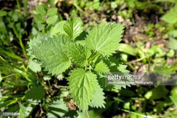common nettle plant - イラクサ ストックフォトと画像