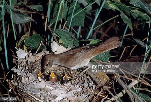 Common nightingale or Rufous nightingale feeding its chicks Muscicapidae