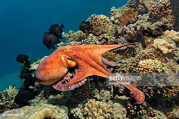 common octopus -octopus vulgaris-, at a coral reef, red sea, egypt - invertebrate stock photos and pictures
