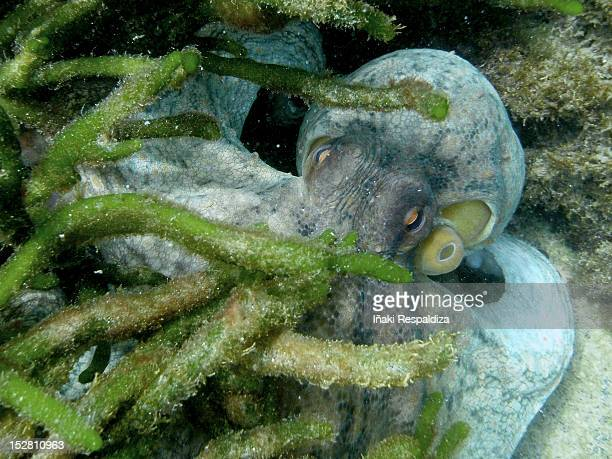 common octopus - iñaki respaldiza stock pictures, royalty-free photos & images