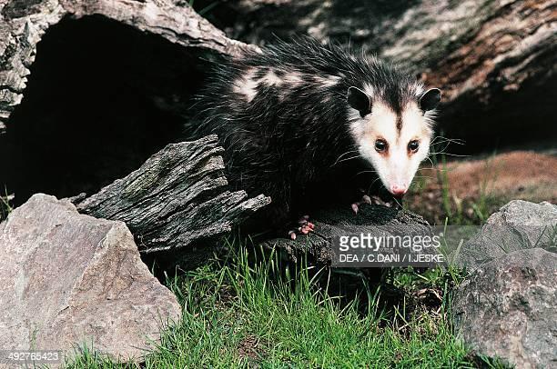 Common opossum blackeared opossum or gamba Didelphidae