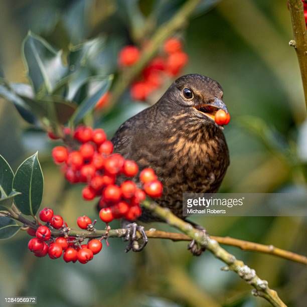 common or eurasian blackbird (turdus merula) feeding on holly berries - michael holly stock pictures, royalty-free photos & images