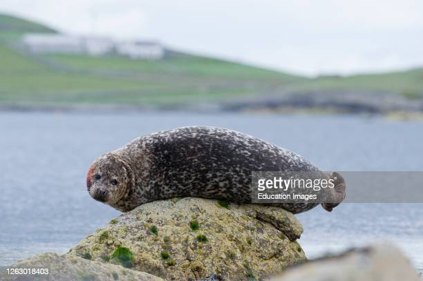 Common or Harbor Seal, Phoca vitulina, posing on rock, Lerwick Shetland.