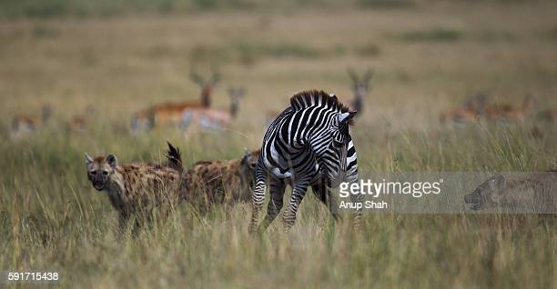 Common or Plains zebra male lame from an injury hunted by Spotted Hyena