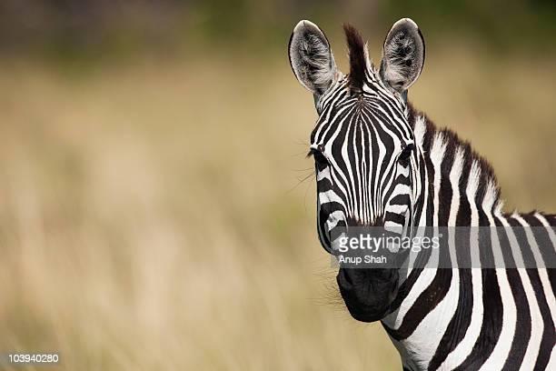 common or plains zebra portrait  - zebra stock pictures, royalty-free photos & images