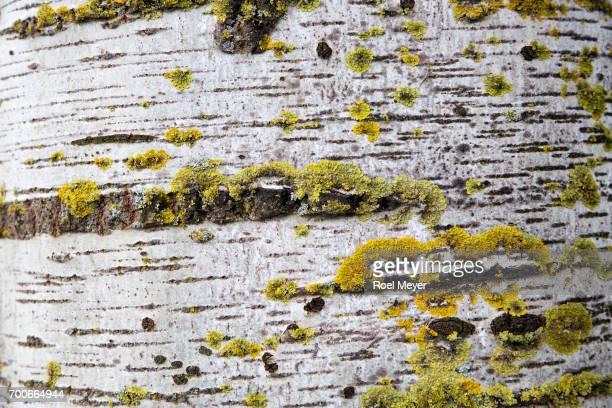 Common orange lichen on bark of White poplar.