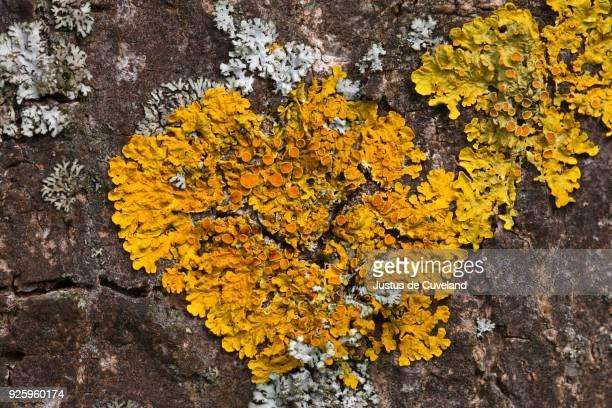 common orange lichen (xanthoria parietina) on bark, schleswig-holstein, germany - schleswig holstein stock pictures, royalty-free photos & images