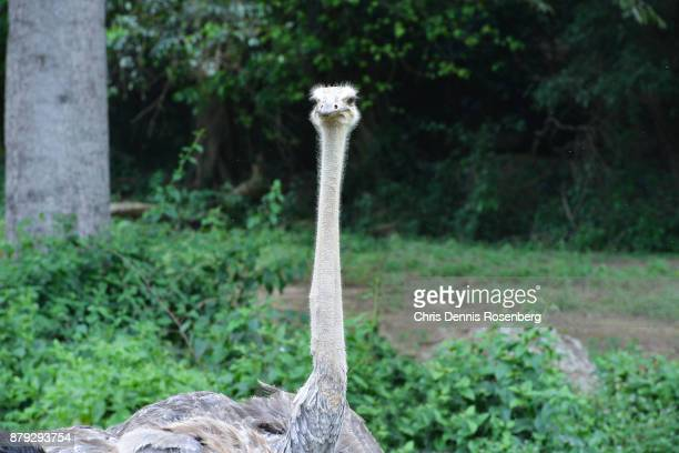 common ostrich (struthio camelus). - ostrich stock pictures, royalty-free photos & images