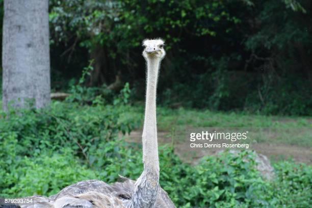 common ostrich (struthio camelus). - ostrich stockfoto's en -beelden