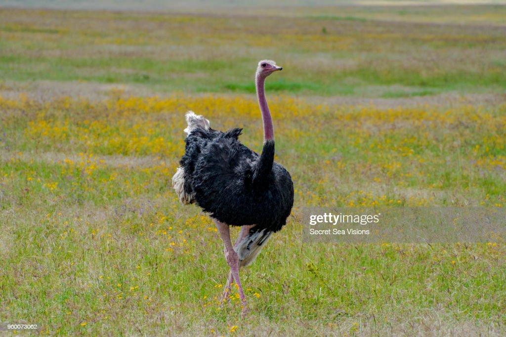 Common Ostrich : Stock-Foto