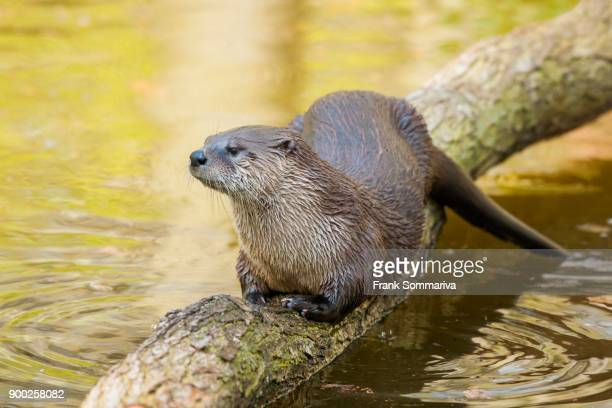 Common otter (Lutra lutra) on log in water, captive, Germany