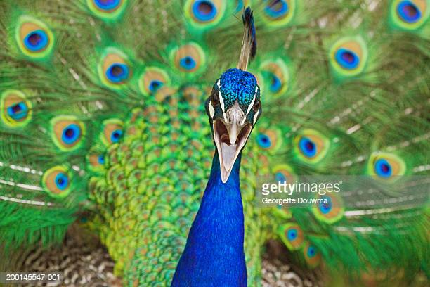 common peafowl (pavo cristatus) male calling - male animal stock photos and pictures