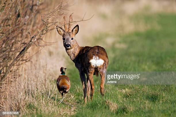 Common Pheasant cock and European roe deer buck with antlers covered in velvet in field in spring