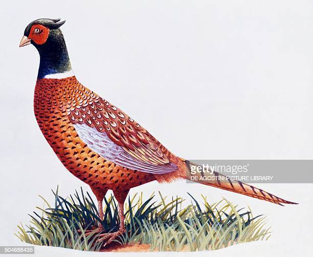 Common Pheasant cock Phasianidae drawing