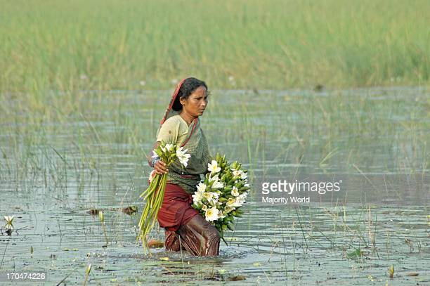 A common picture of rural Bangladesh rural woman plucking lotus as food for lunch Bathiaghata Khulna Bangladesh November 7 2007