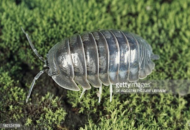 Common Pillbug or Common Pill Woodlouse Isopoda