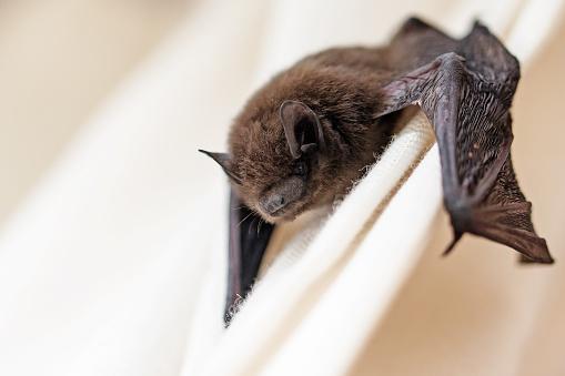 common pipistrelle (Pipistrellus pipistrellus) a small bat 583855512