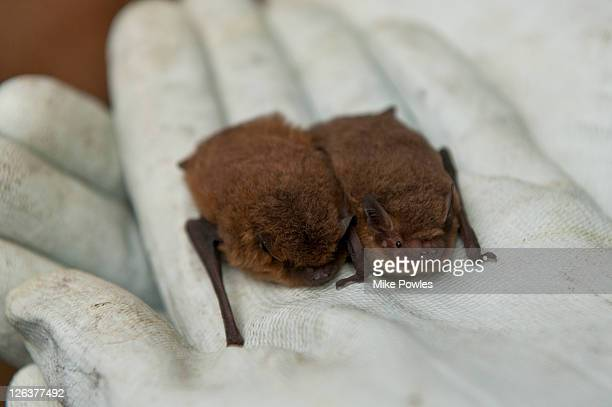 Common Pipistrelle (Pipistrellus pipistrellus) and Soprano Pipistrelle (Pipistrellus pygmaeus) held in palm of hand, Norfolk, UK
