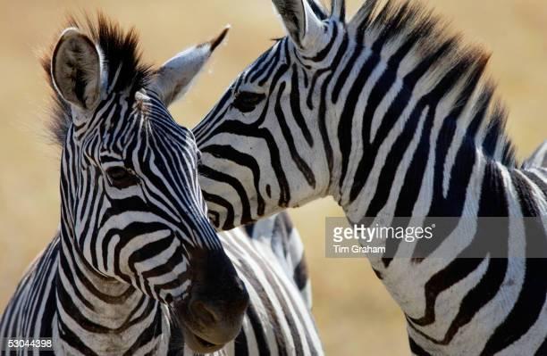 Common Plains Zebra , Ngorongoro Crater, Tanzania.