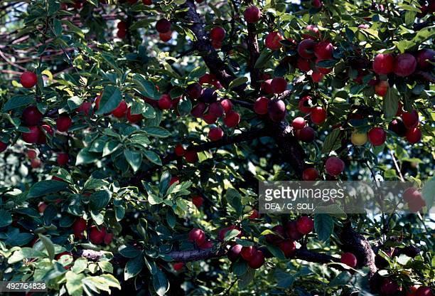 Common Plum Rosaceae