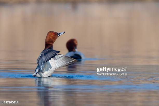 common pochard - aythya ferina in a channel of danube river - marek stefunko stock pictures, royalty-free photos & images