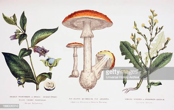 Deadly Nightshade Fly Blown Mushroom Or Fly Amanita Strong Scented Or Poisonous Lettuce From The Household Physician Published Circa 1890