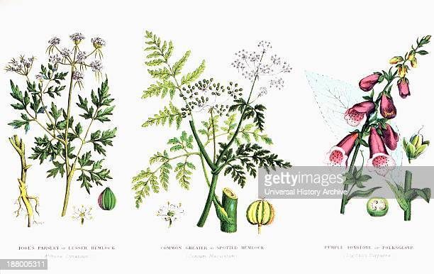 Fool's Parsley Or Lesser Hemlock Common Greater Or Spotted Hemlock Purple Foxglove Or Folksglove From The Household Physician Published Circa 1890