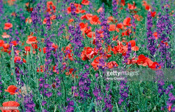 common poppies and larkspur, fulophaza, hungary / (papaver rhoeas) - delphinium stock pictures, royalty-free photos & images