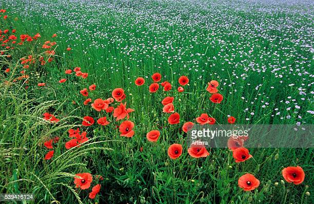 Common poppies / Flanders poppy along field of flax