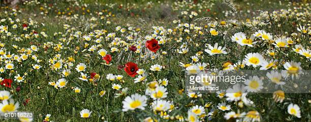 common poppy among marguerites - marguerite daisy stock photos and pictures