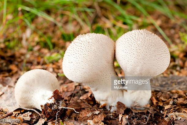 Common puffball mushrooms