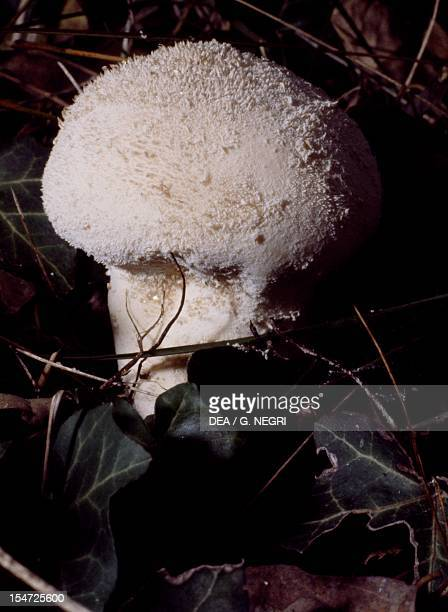 Common puffball Warted puffball Gemstudded puffball or Devil's snuffbox Lycoperdaceae