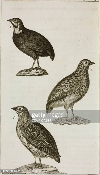 1 Common Quail 2 Quail of Falkland Islands 3 Chinese Quail engraving by Moretti from Le opere di Buffon by GeorgesLouis Leclerc de Buffon and Bernard...