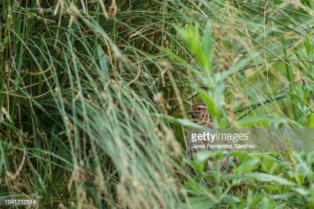 a common quail hidden among the grass. coturnix coturnix. - common quail stock pictures, royalty-free photos & images