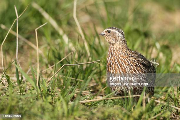 common quail (coturnix coturnix) in field, lower austria, austria - common quail stock pictures, royalty-free photos & images