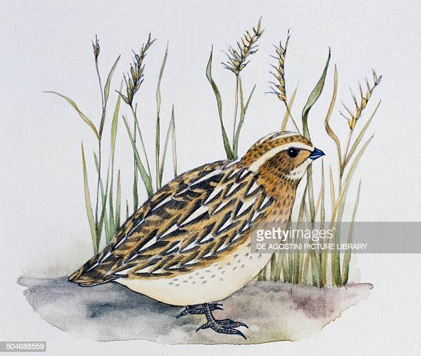 Common Quail Phasianidae drawing