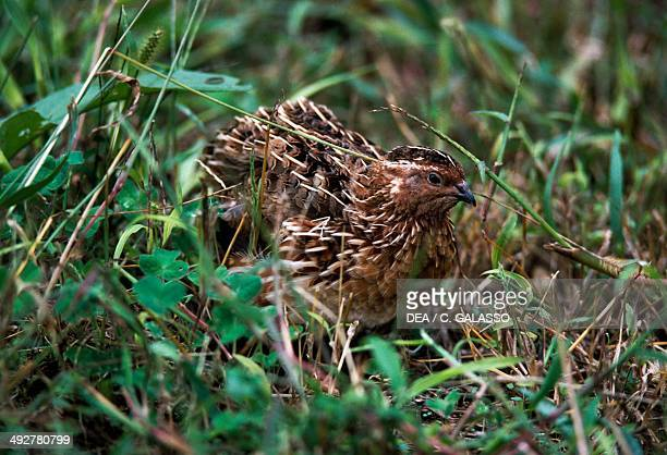 Common quail Phasianidae