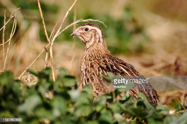 common quail (coturnix coturnix) - common quail stock pictures, royalty-free photos & images