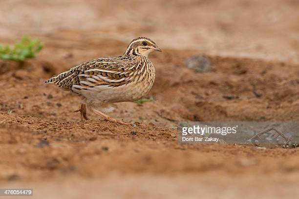 common quail (coturnix coturnix) - quail bird stock photos and pictures