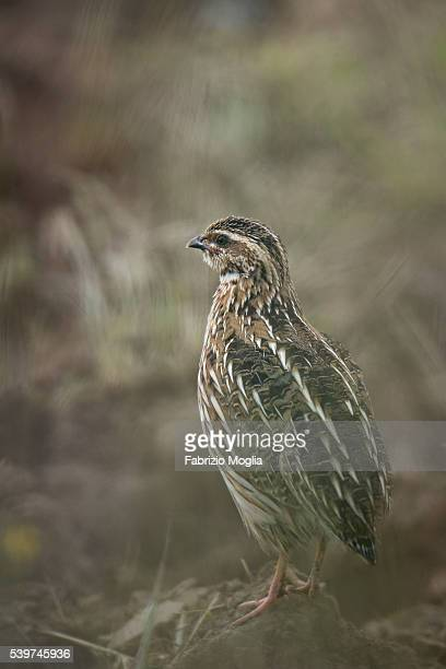 common quail - common quail stock pictures, royalty-free photos & images