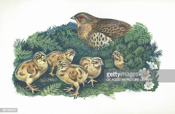 Common Quail with chicks illustration