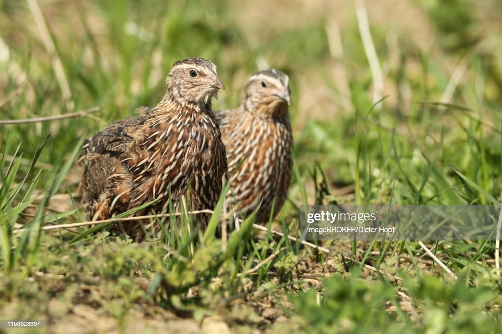 Common quails (Coturnix coturnix) Cock and hen in the field, Lower Austria, Austria : Stock Photo