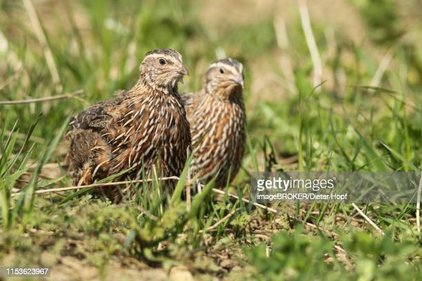 common quails (coturnix coturnix) cock and hen in the field, lower austria, austria - common quail stock pictures, royalty-free photos & images