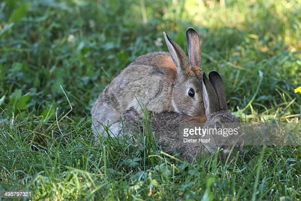Common rabbits -Oryctolagus cuniculus-, mating, Lower Austria, Austria