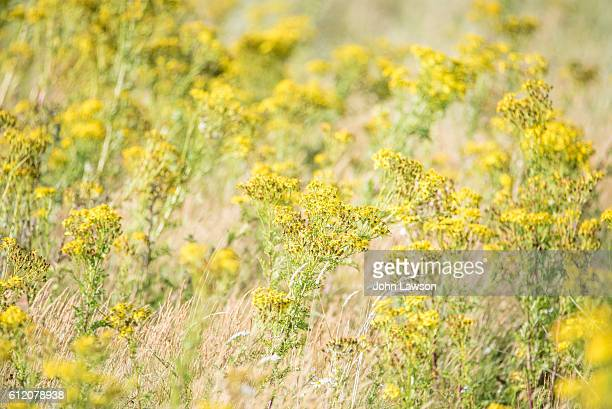common ragwort - tansy stock pictures, royalty-free photos & images