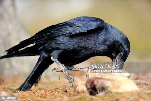 common raven (corvus corax), adult, eating carrion, zdarske vrchy, bohemian-moravian highlands, czech republic - dead crow stock pictures, royalty-free photos & images
